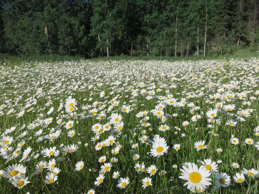 Oxeye Daisies:Noxious Weeds