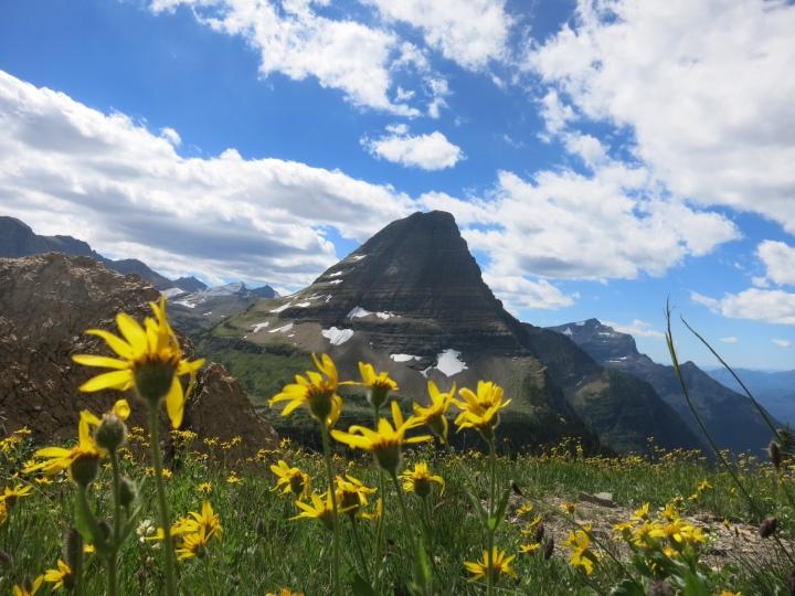 yellow flowers Logan Pass