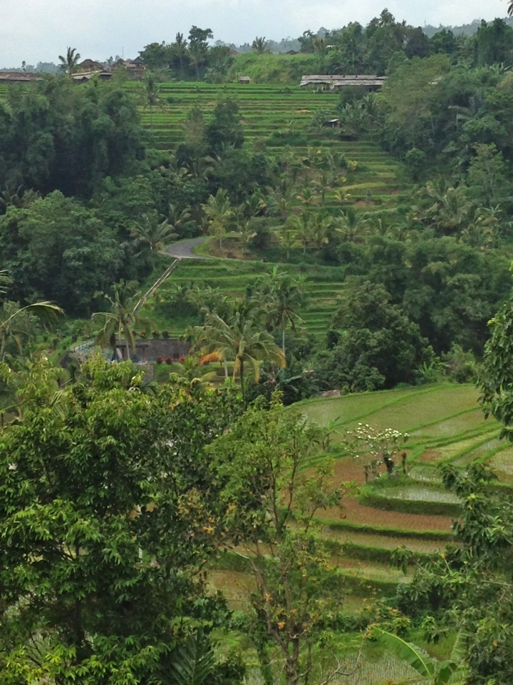 rice fields 1