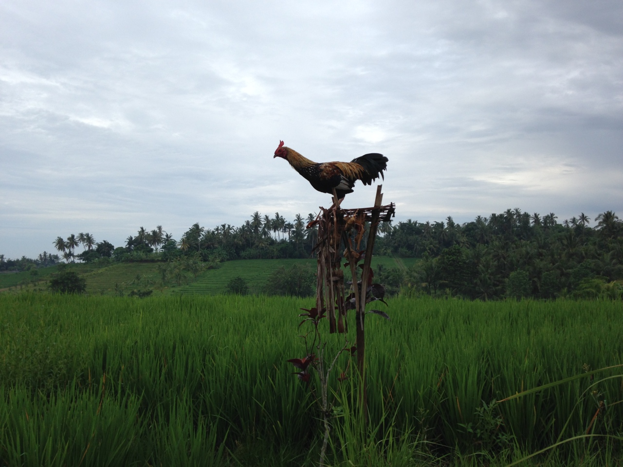 Bali Diary: Fields of Dream