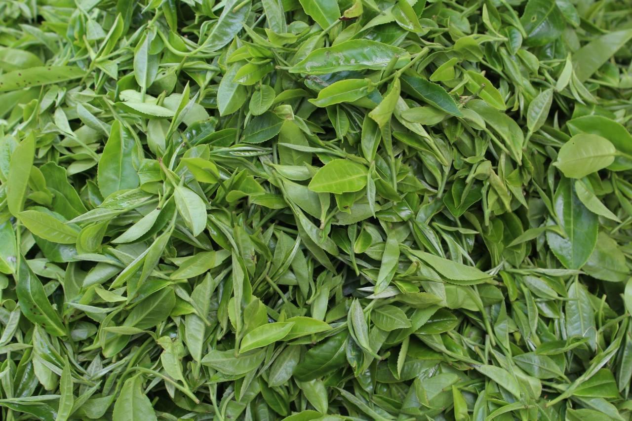 Himalayas #3 A Darjeeling TeaTour