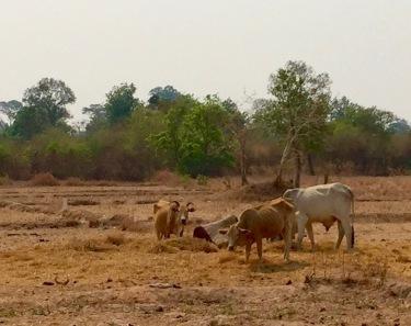 cows-dry-husks