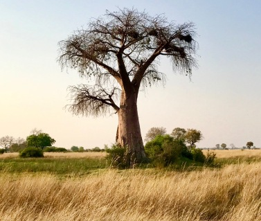 BaobabTree 2