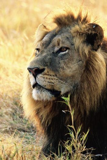 lion w:tick