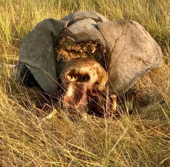 Rotting Elephant Head