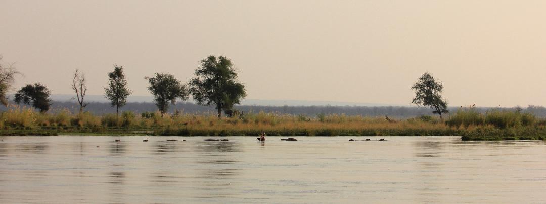 hippos lie in wait