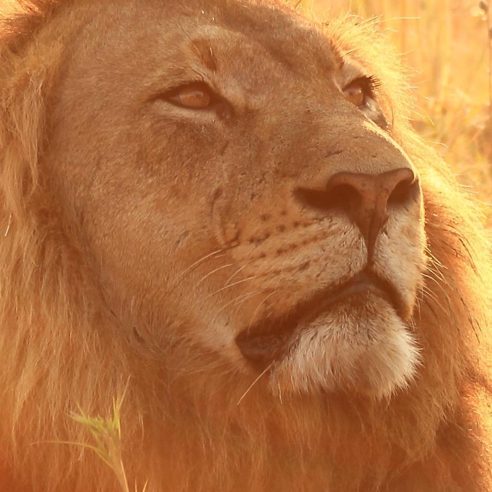 lion cu